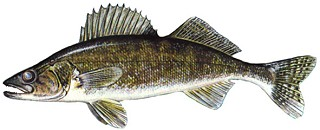 Walleye Fishing Tips on Springtime Walleye Fishing Tips By Patricia Strutz Back One Page
